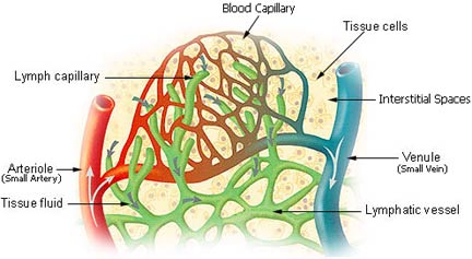 lymphatic_vessels